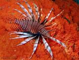 Bonaire-Lionfish