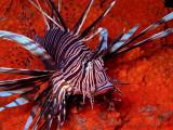 Lionfish-Bonaire