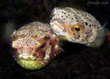 Balloonfish Love
