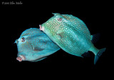 Mating Cowfish