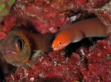 Dang Cardinalfish!