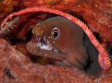 Chestnut Moray