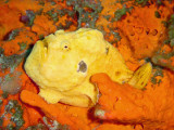 Frogfish - Forest