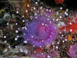 White-Ball Corallimorph