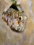 Pearl Blenny