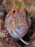 Orangespotted Blenny