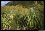 Pandani on slopes of Rodway range
