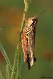 Red Legged Grasshopper
