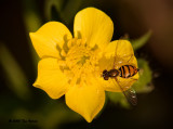 Hover Fly on a Bulbous Buttercup