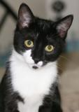 Oreo Kitten