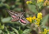 White-Lined Sphinx Hummingbird Moth