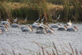 American White Pelicans and Snowy Egrets