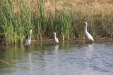 Great Egrets and Snowy Egret