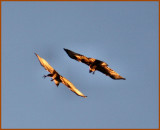 Hawks at play at sunset.JPG