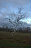 Birch deformed by Gravity