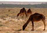 Camels - Tozeur