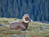 Rocky Mountain Big Horn