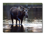 Moose Cow in Sprague Lake