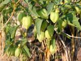 Physalis in fruit