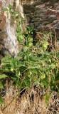 Physalis sp. in flower