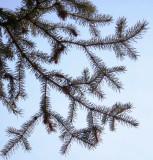 Colorado Blue Spruce Bough