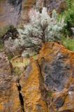 Artemisia on the Rocks