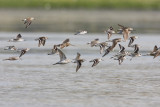 shorebirds 080408IMG_7710