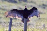 turkey vulture 070409_MG_2559