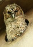 Tawny owl - Strix aluco