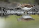 Green sandpiper - Tringa ochropus