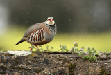 Partridges/Pheasants
