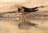 Red-rumped Swallow - Hirundo daurica