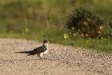Great Spotted Cuckoo - Clamator glandarius