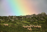 Sheep after a thunderstorm