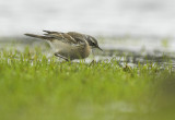 Water pipit - Anthus spinoletta