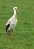 White stork - Ciconia ciconia, Malle 5/04/08