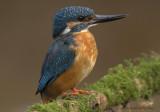 Kingfishers - ijsvogels