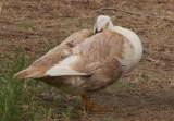 Brown Duck 4.jpg