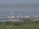 Lesser Flamingo, Lake Abiatta