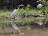 Great White Egret, Bahir Dar
