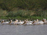 Great White Pelican, Lake Ziway