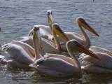 Great White Pelican, Awassa fish market