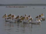 Great White Pelican, Lake Tana