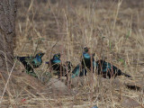 Greater Blue-eared Glossy Starling, Awash NP