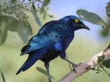 Greater Blue-eared Glossy Starling, Lake Langano