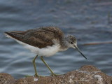 Common Greenshank, Lake Awassa