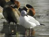 Grey-headed Gull, Lake Ziway fish jetty