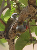Grey-headed Woodpecker, Bahir Dar
