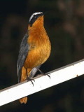 Heuglin's Robin Chat, Awassa