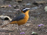 Heuglin's (White-browed) Robin Chat